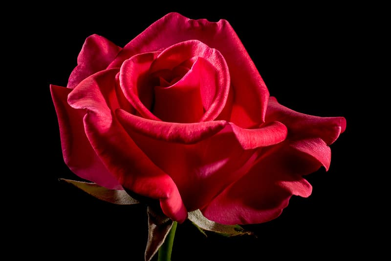Closeup photo of red rose flower in bloom