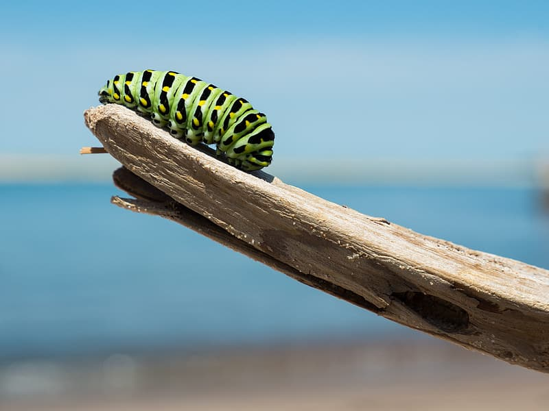 Green and black caterpillar on brown wooden stick