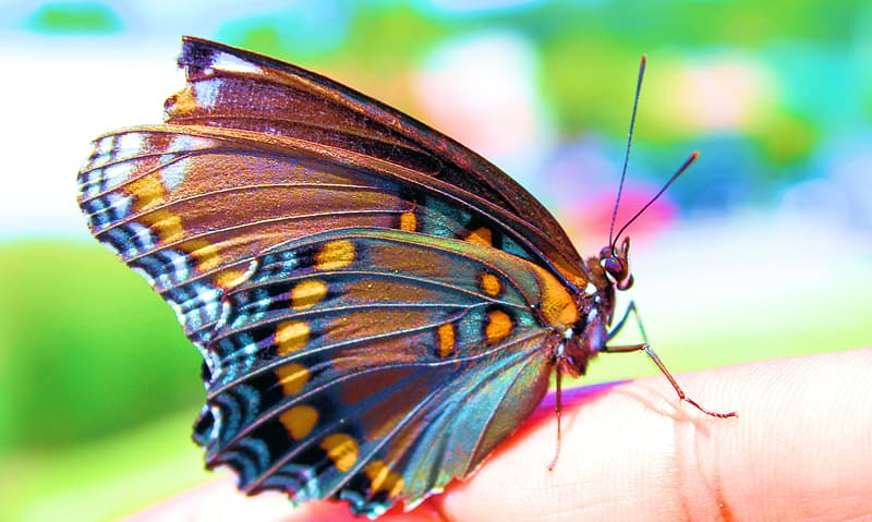 Macro photography of blue and orange butterfly perching on human hand