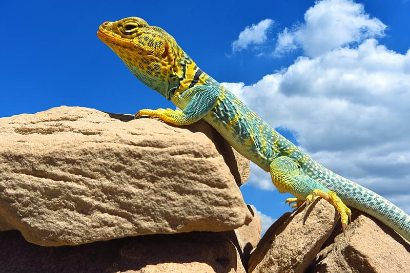 Yellow and blue lizard on rock under cloudy sky