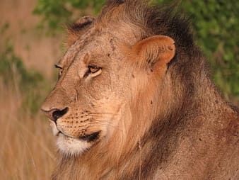 Shallow focus photography of brown lion
