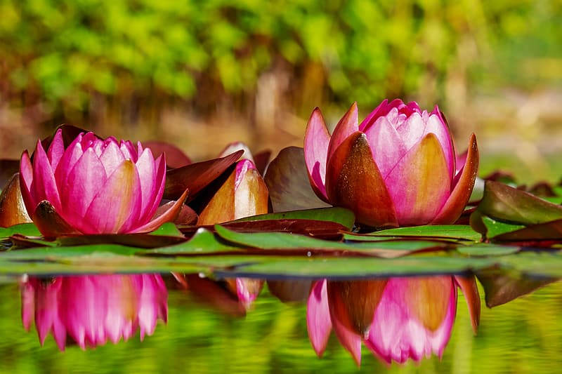 Pink lotus flowers on water in selective photography