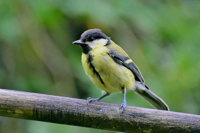 Yellow and black bird on brown wooden stick