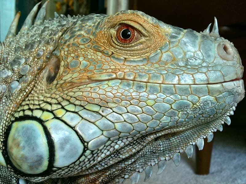 Close-up photo gray and brown lizard