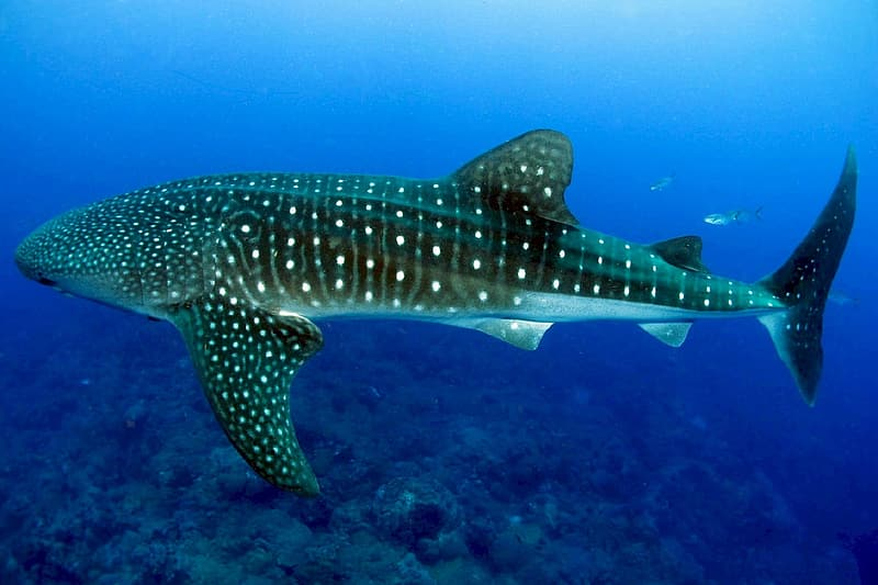 Underwater photography of whale shark