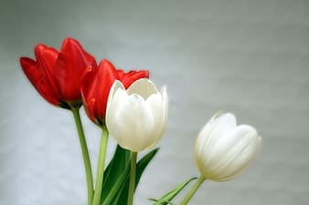 Two white and red tulip flowers