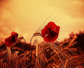 Photo of two red flowers