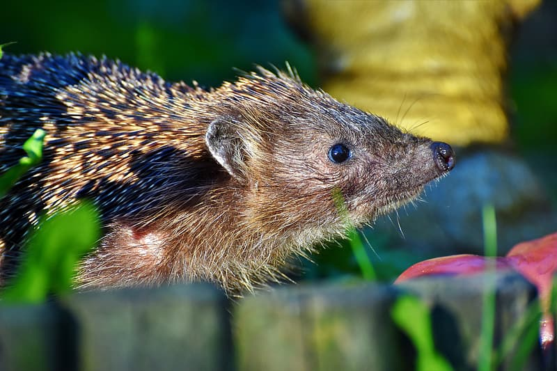 Brown and black hedgehog on green grass during daytime