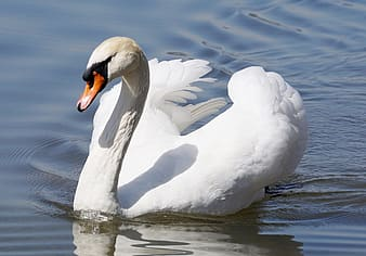 White goose in body of water