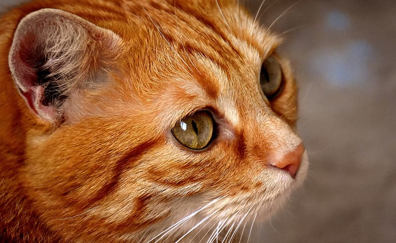 Orange tabby cat in close up photography