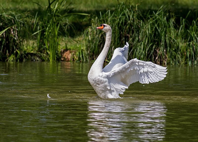 White duck in the water during daytime