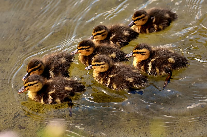 Black and yellow ducklings swimming on body of water