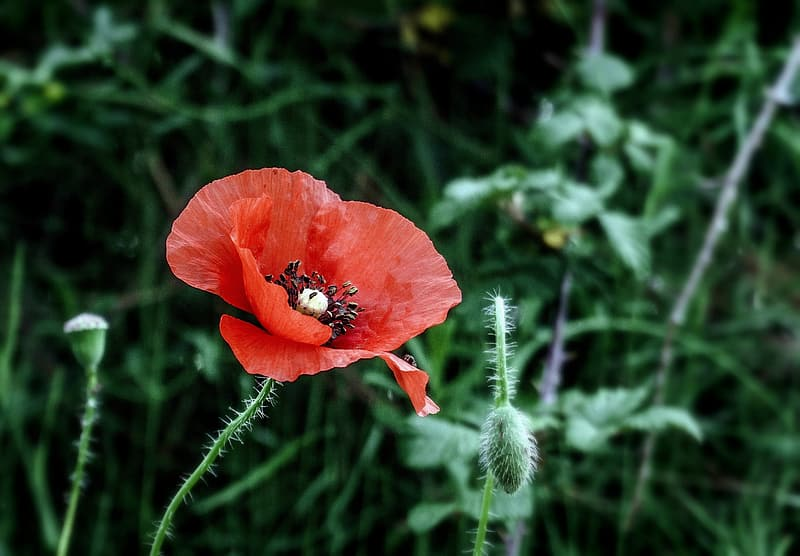 Close-up of red poppy flower in bloom
