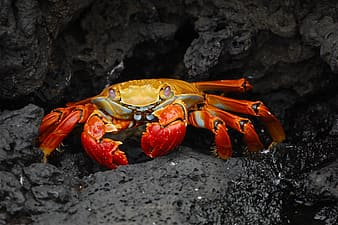 Animal photography of red crab on rocks