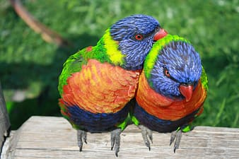 Two blue-green-and-orange birds