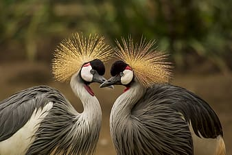 Selective-focus of gray Gray-crowned cranes