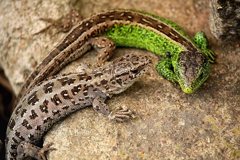 Two green and brown lizards on brown rock