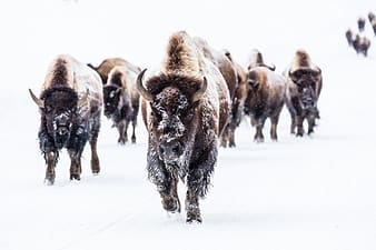 Group of bison during snowy weather