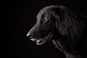 Black labrador retriever with black background