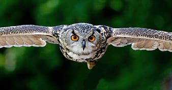 Owl spreading it wings over green foliage trees