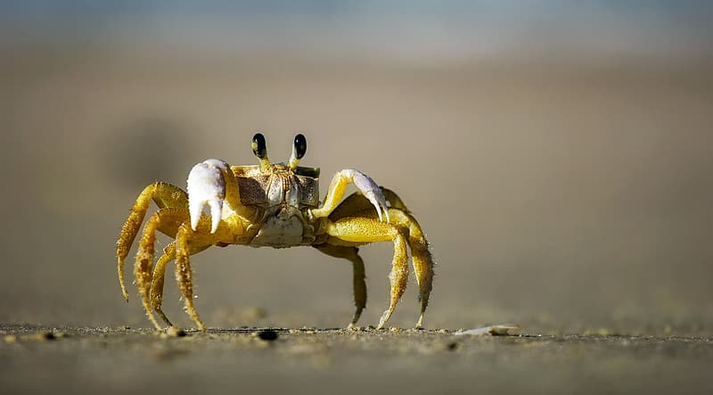 Yellow and brown crab standing on gray sand