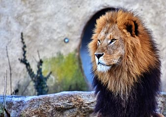 Closeup photography of lion