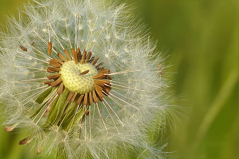 Focused photography of withered dandelion