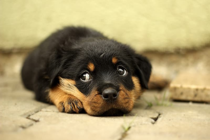 Rottweiler puppy prone lying