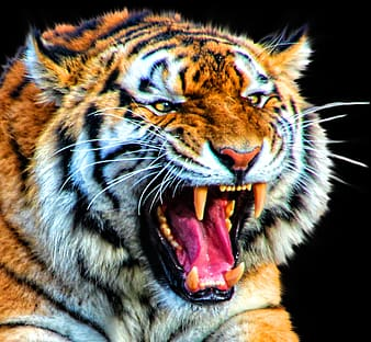 Photo of tiger