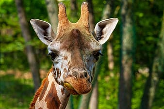 Brown and white giraffe in close up photography during daytime