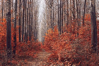 Pathway between red leafed trees
