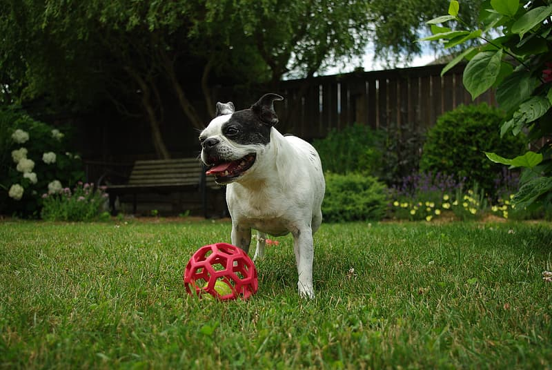 White and black French bulldog playing with red ball on grass field