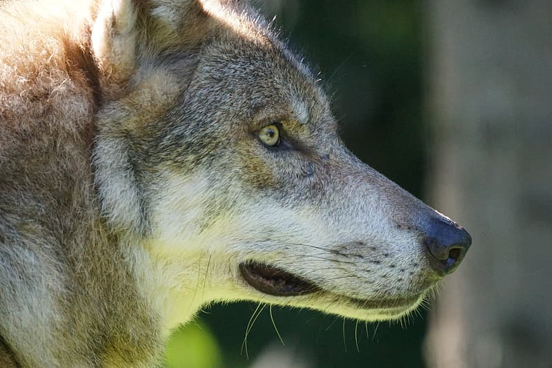 Selective focus photography of gray wolf