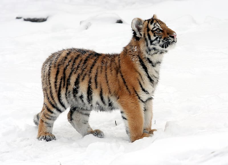 Brown and white tiger standing on snow covered ground during daytime