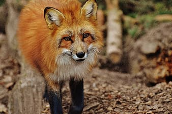 Wildlife photography of red fox