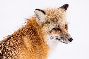 Close up photo of orange fox