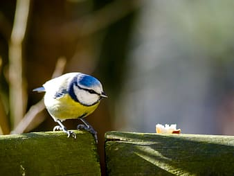 Blue white and yellow bird on green wooden fence