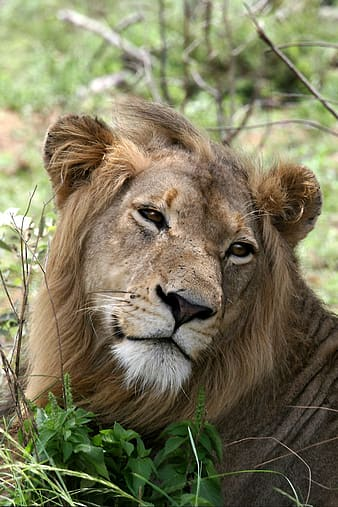 Closeup photo of brown lion