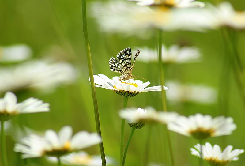 White and black butterfly on white daisy flower