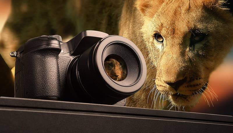 Selective focus photography of bridge camera and lioness