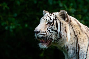 Shallow focus photography of tiger during daytime