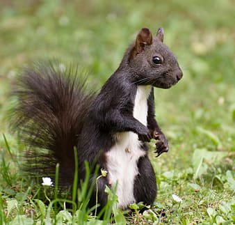 Black and white squirrel on green grass during daytime