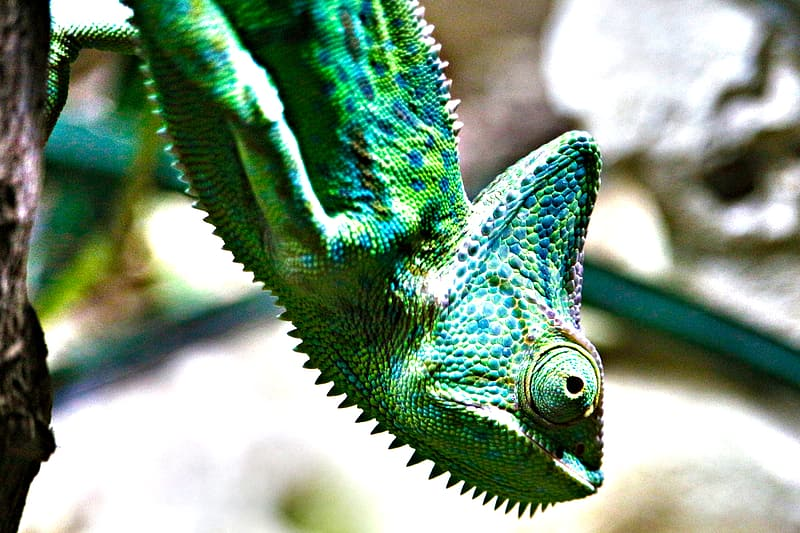 Closeup photo of green chameleon