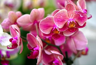 Pink and white moth orchids in bloom during daytime