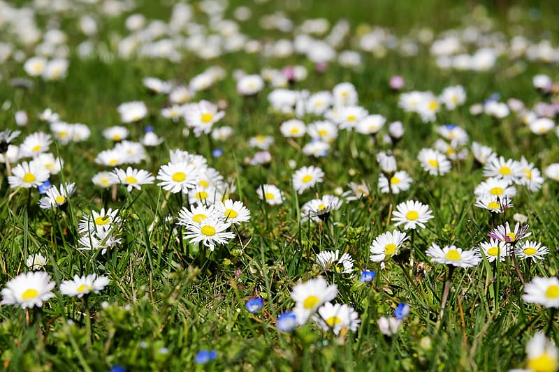 White-and-yellow daisy flower field during daytime