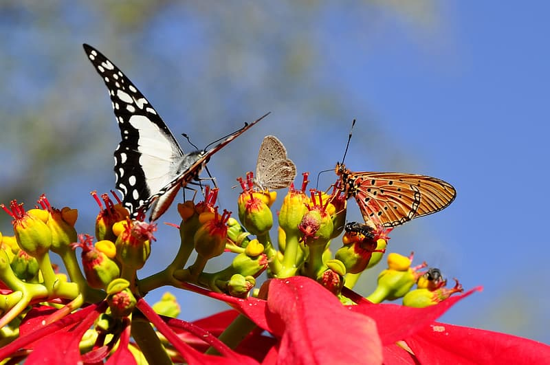 Red poinsettia flower and three assorted-color butterflies
