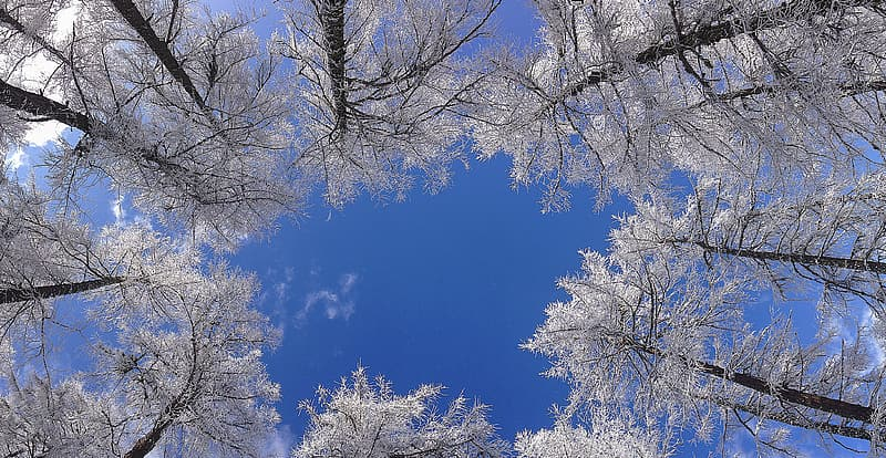 Worm-view of white leafed trees