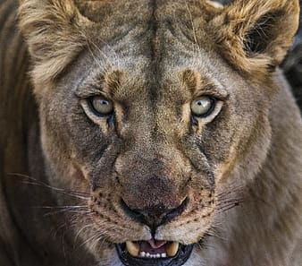 Close up photo of gray lion