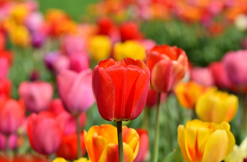 Bed of red, pink, and yellow tulips