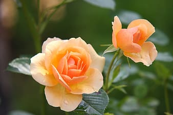 Closeup photography of peach roses